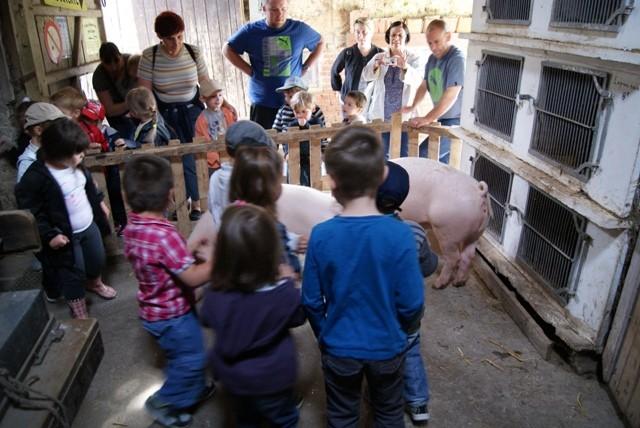 C1 cochons avec enfants