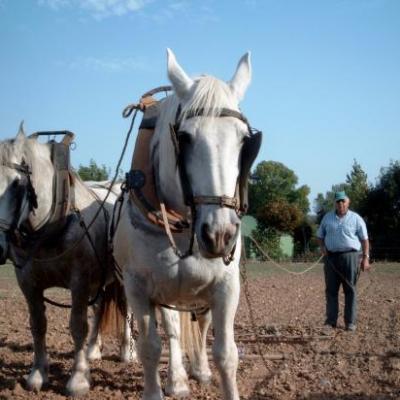 Travail au champs avec les chevaux boulonnais