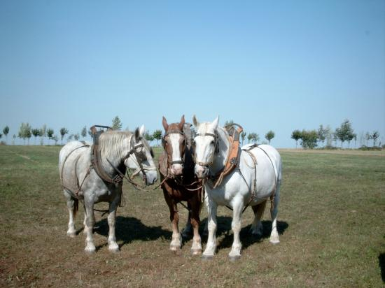 Les chevaux boulonnais